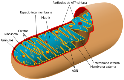 415px-Animal_mitochondrion_diagram_es.svg